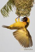 Category Birs Portraits  Honours Blackheadedweaver BirdsofAfricaBehavioural