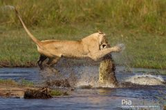 Lioness Crocodile Fight Wild Cats of Africa Behavioural