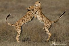 Mother and Playful Naughty Son Wild Cats of Africa Behavioural