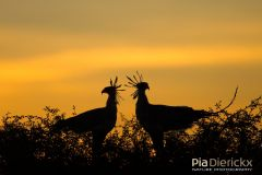 Secretary Birds befor bedtime Africa Wildlife Photographer of the Year