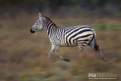 Zebra on the run Mammals of Africa Portraits