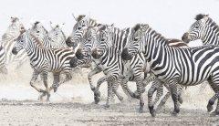 20180223-141-JOPA-02-20180223-zebras-Tanzania.JPG