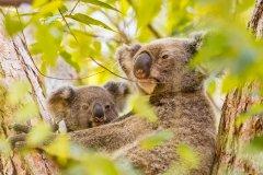20190222_123_MADA_04_20190222_Koalametjong_Coombabah-Australia.jpg