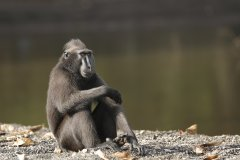 201806_008_JC_01_ 20180629_black crested macaque_Sulawesi.jpg